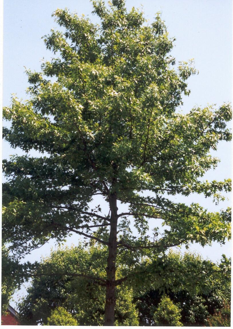 full pin oak tree