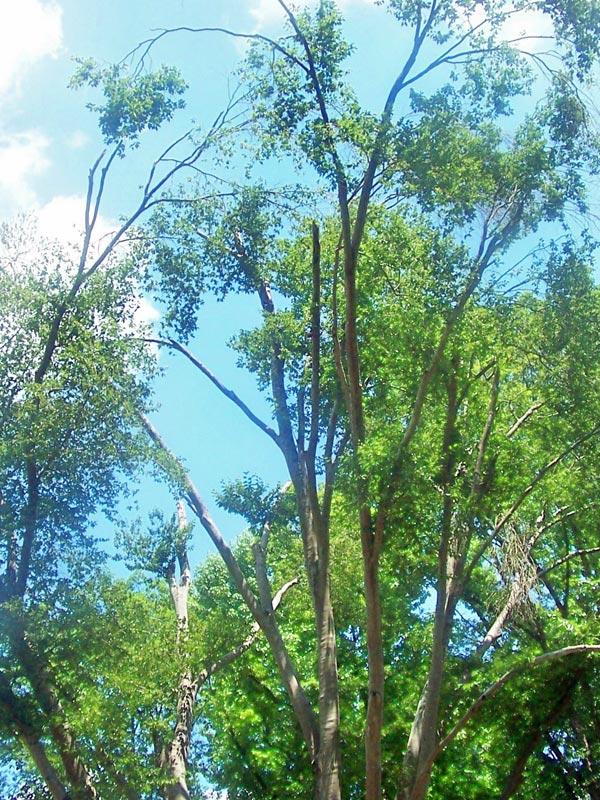 an american beech tree before arborist work