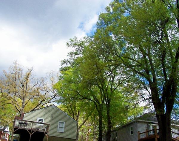 three water oak trees