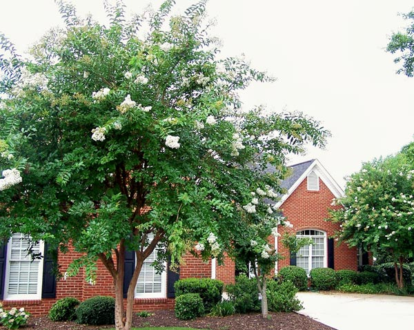 crape myrtle tree after arborist work