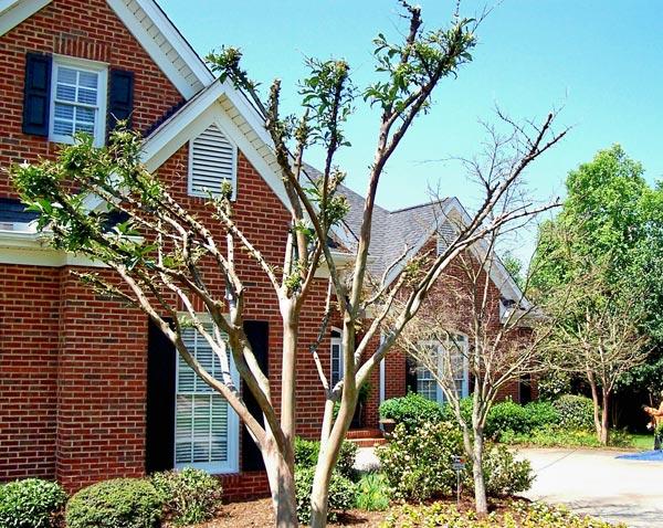 crape myrtle trees before arborist work
