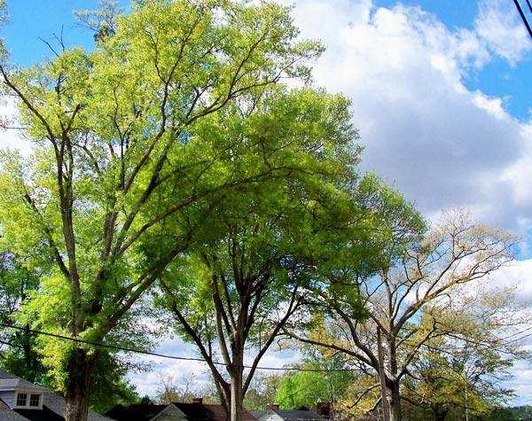 two water oak trees
