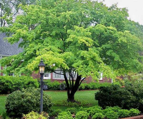 beautiful maple tree 8 months after work