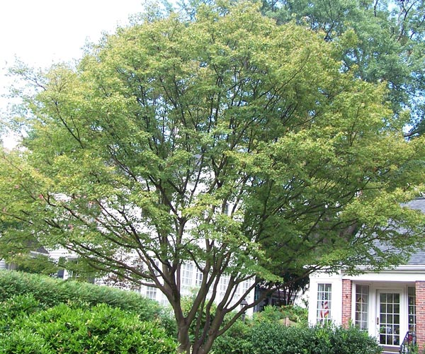 a declining japanese maple tree
