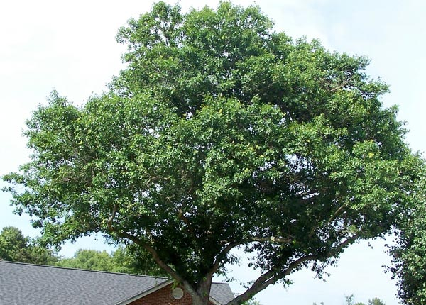 one year after work on a water oak tree
