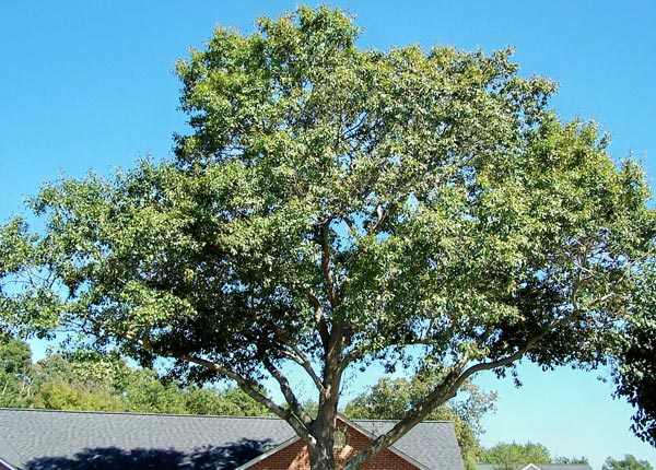 beautiful water oak tree