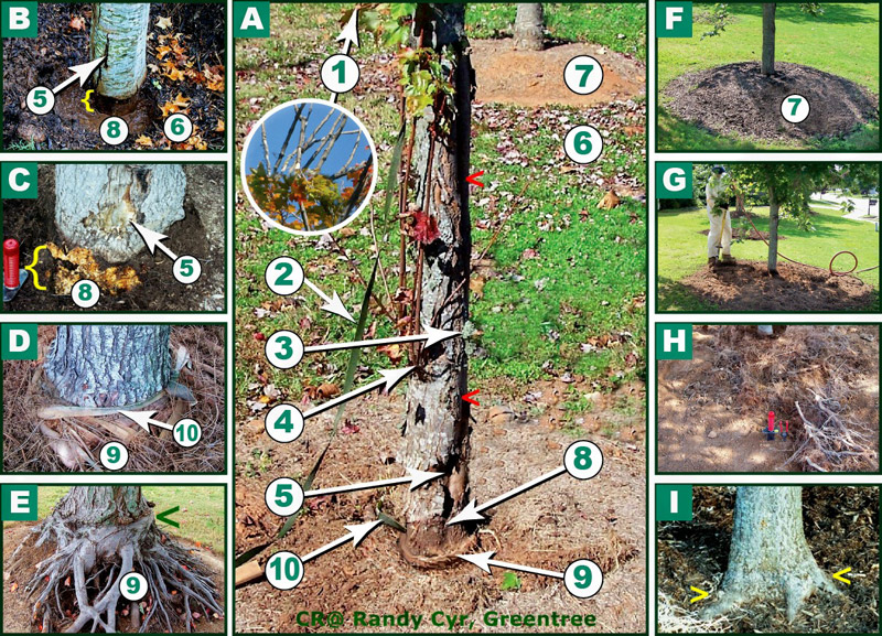 tree girdling diagram