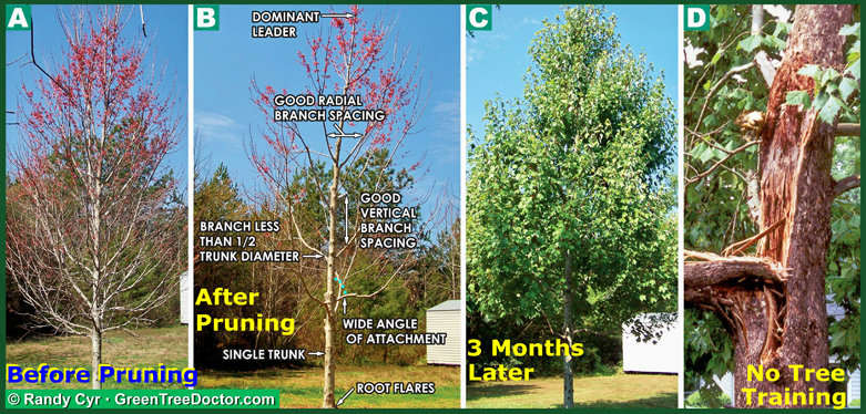 tree pruning diagram