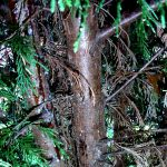 Seirdium canker on Leyland Cypress (Upstate, SC)