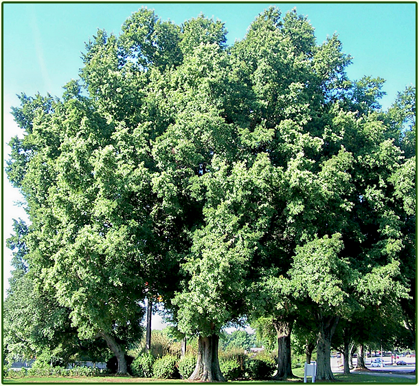 healthy oak tree