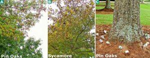 pin-oaks-sycamores