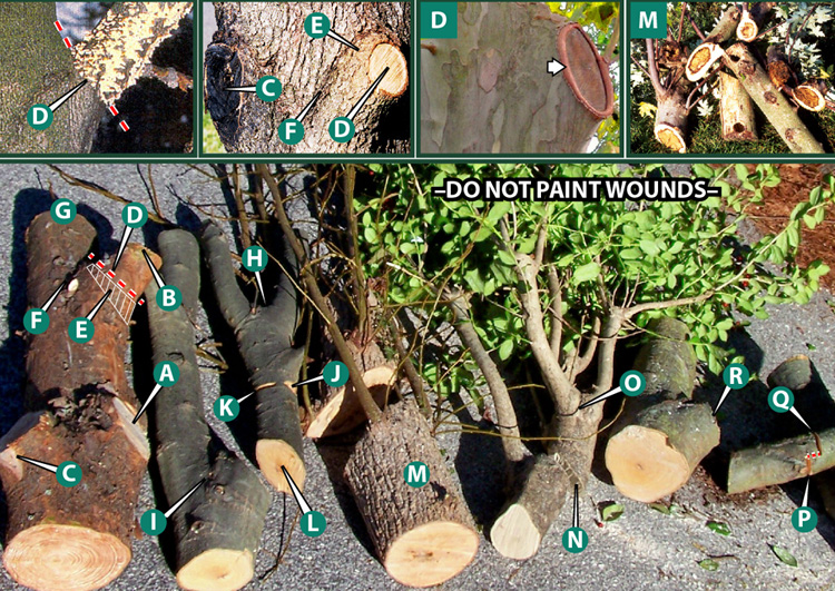 young tree pruning techniques