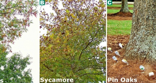 Pin Oaks and Sycamores; Scorched Leaves in September