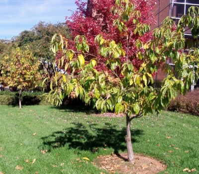 Return of the American Chestnut