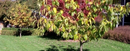 Subpar Tree Planting; the Loss of a Chestnut